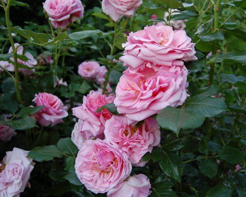 Jardin-gite-fleurs-hotes (7)